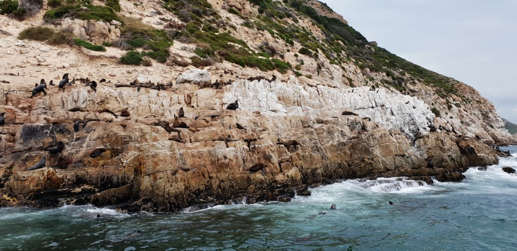 Seals off Robberg peninsula Plettenberg Bay - photo by Brendon Morris