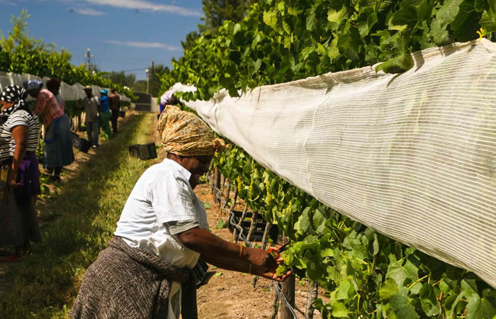 harvesting-grapes-plett-wine-farm