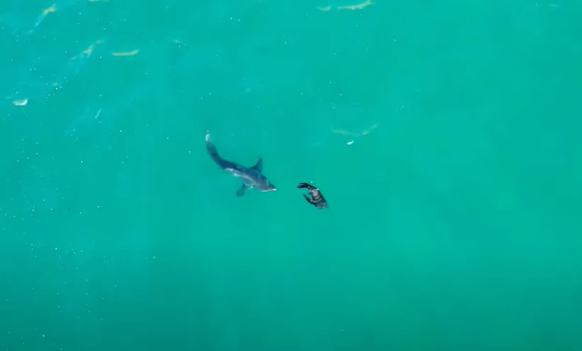 the story as told by a great white shark of robberg