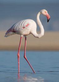 The flamingos are back in Plett