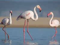 The flamingos are back in Plett