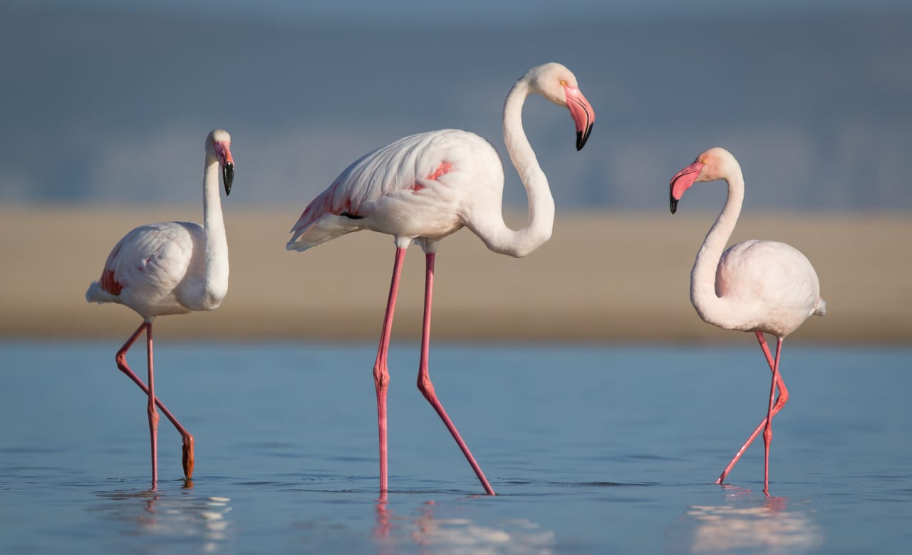 Flamingos in Plett by Pastor Johan Coetzee