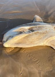 Sunfish stranded on Nature's Valley beach