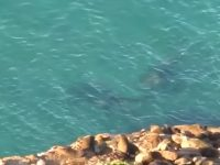 Elephant seal chases great white shark in Plett