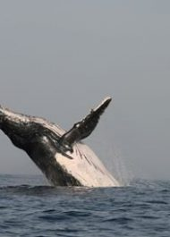 WATCH: Humpback whale breaches right on cue!