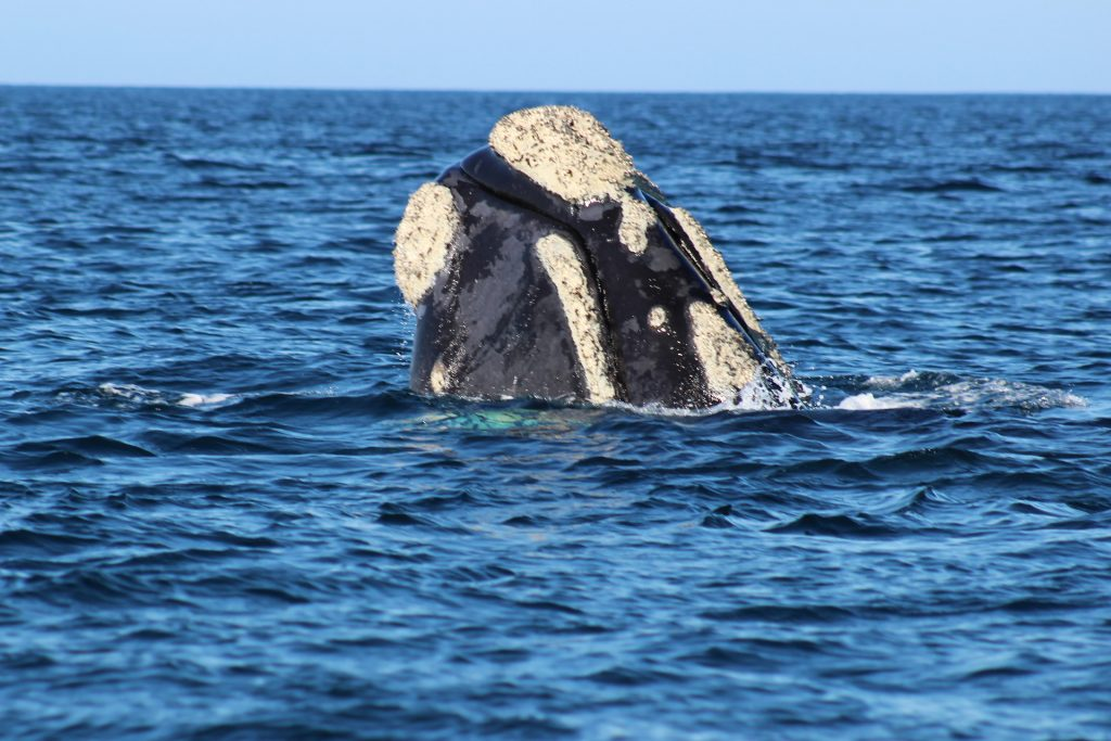 The whale watching industry in Plettenberg Bay is worth R371.2 million per year. It also creates 92 jobs, which equates to an approximate total of 250 people who benefit from the employment.