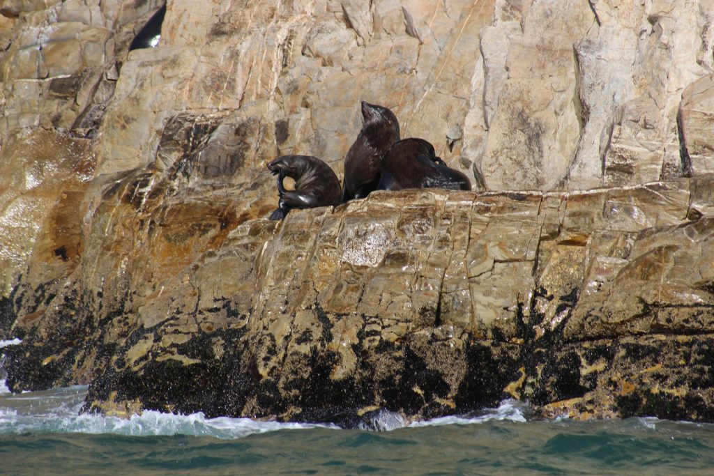 Seals on Robberg viewed from whale watching boats
