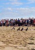 WATCH: Penguins released on Lookout Beach in Plett