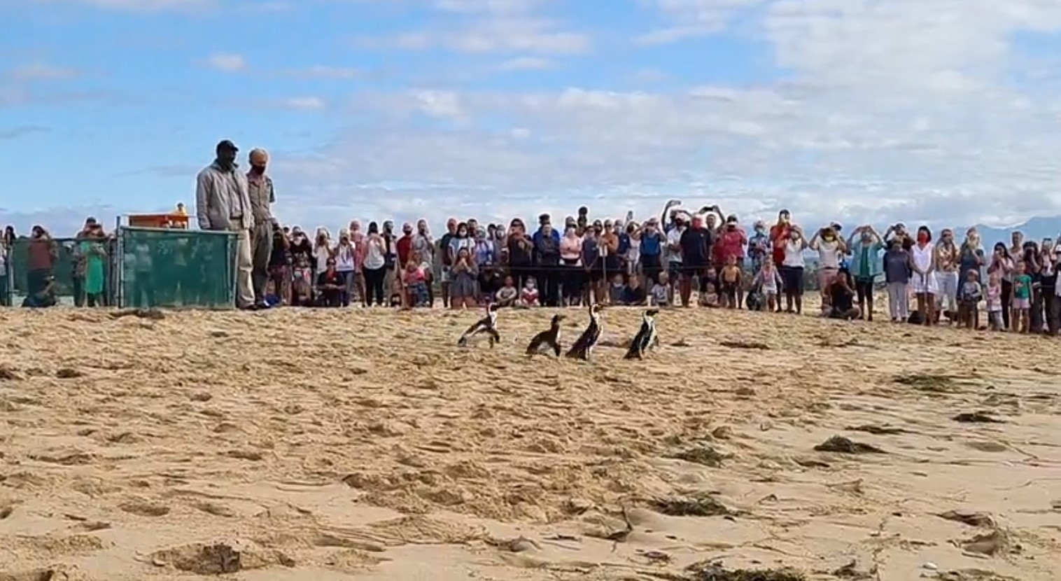Penguins released from Lookout Beach on Sat 20 March