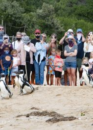 Endangered African penguins find some R&R in Plettenberg Bay
