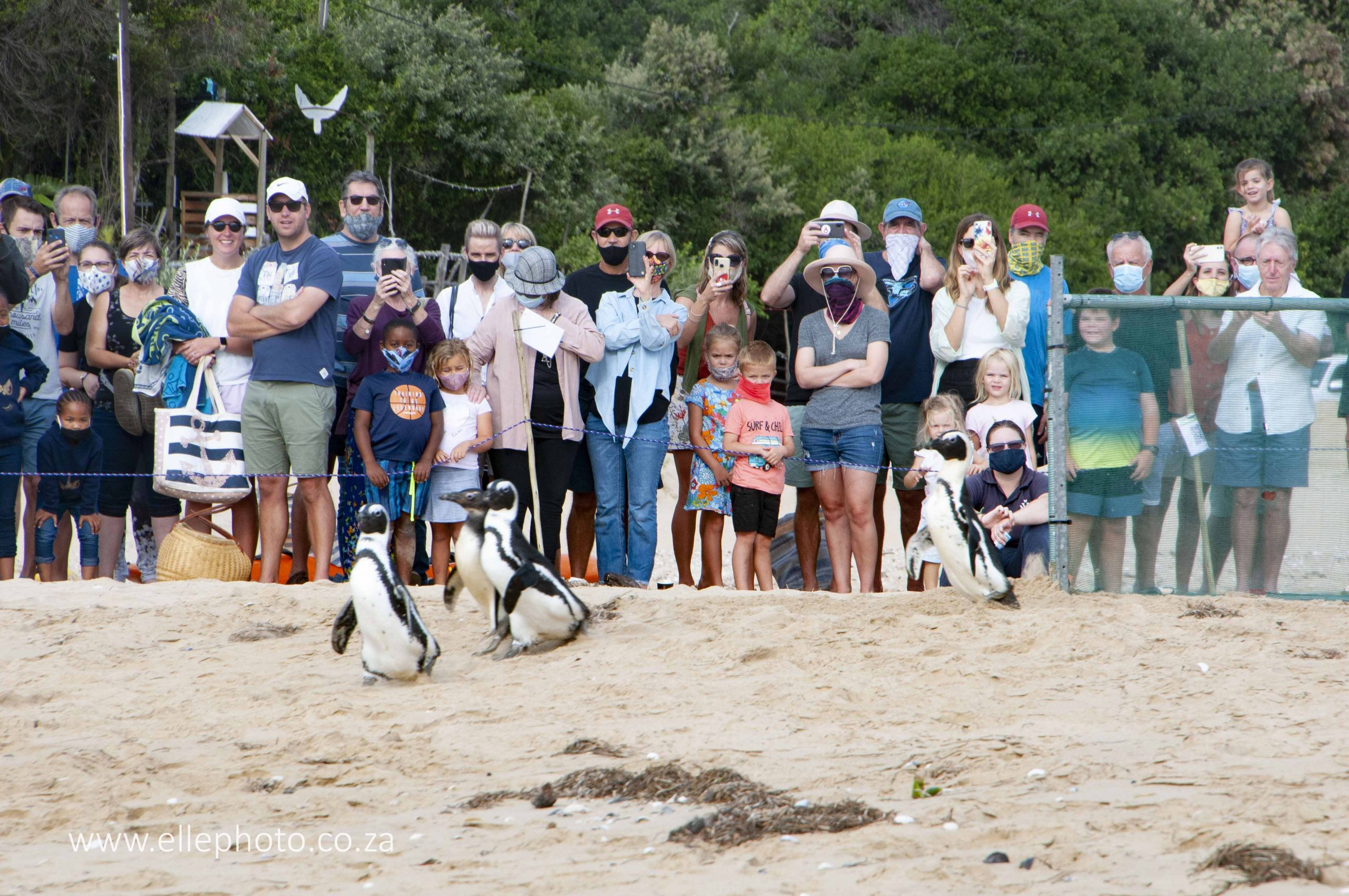 The penguins making their way down Lookout Beach to the sea