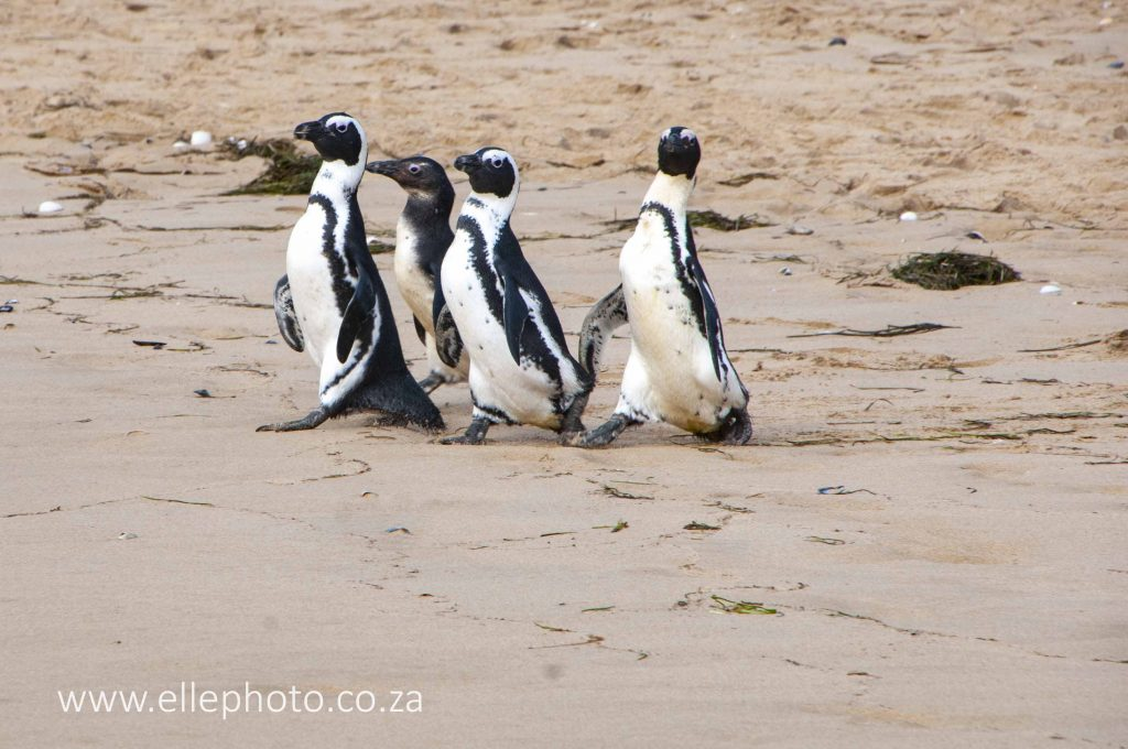 Penguins released on Lookout Beach on Saturday 20 Mar 2021